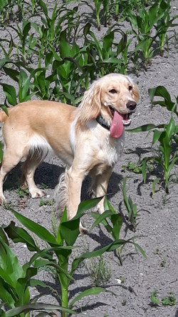 Daisy in the Maize