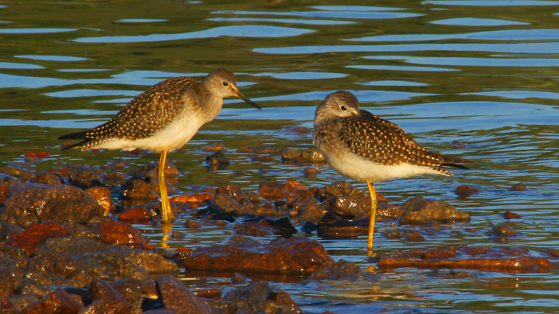 Lesser yellowlegs cropd