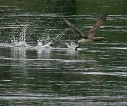 Red throated loon take off