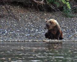 Buddha Bear watching Salmon