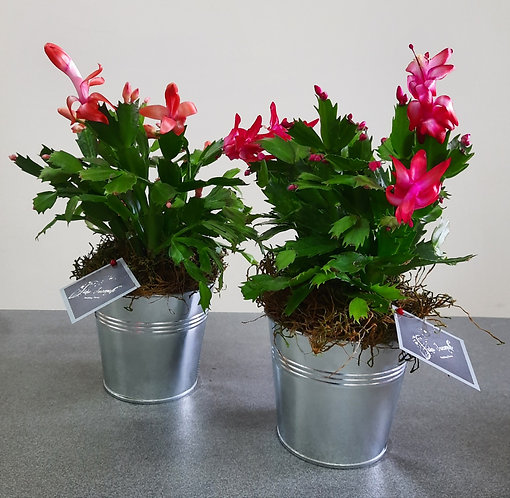 Epiphyllum Multicolor