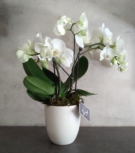 Pianta di Phalaenopsis