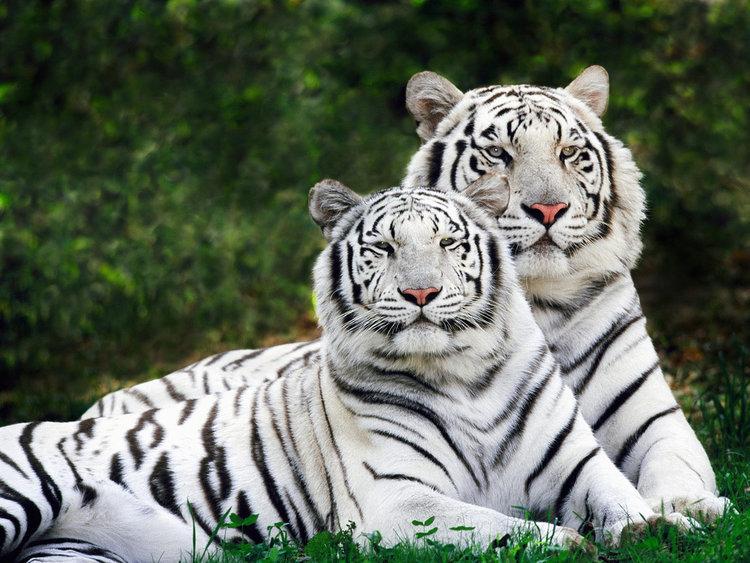 White Tiger  - 9 weeks Meetings
