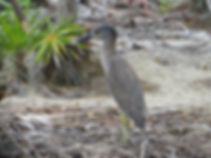 Heron - Belize - Caye Caulker