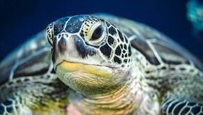 Diani Turtle Watch