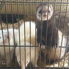 Matilda & Rocket the ferrets