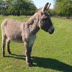 Charlie the donkey