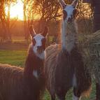 Mushroom & Mayo the Llamas