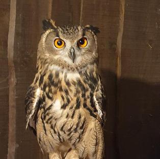 Amber the eagle owl