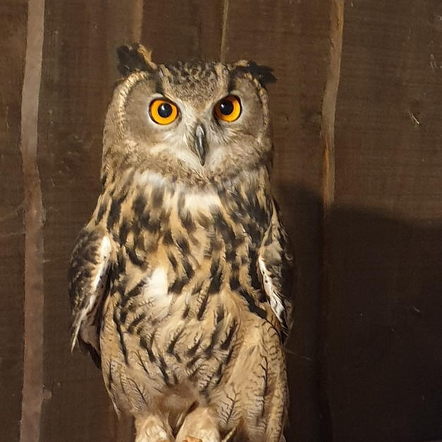 Amber the eagle owl