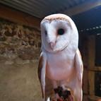 Poppy & Peter the barn owls