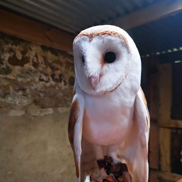 Poppy & Peter the barn owls