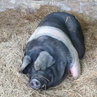 Florence the pig