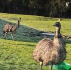 Mork, Mindy & Moo the emus