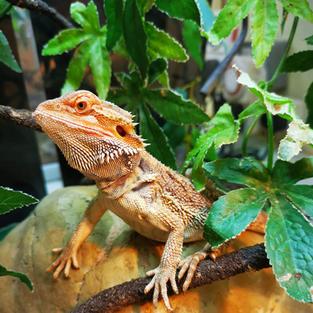 Bernie the bearded dragon