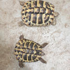 Shelly and Tilly the tortoises