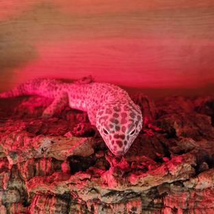 Gary the leopard gecko
