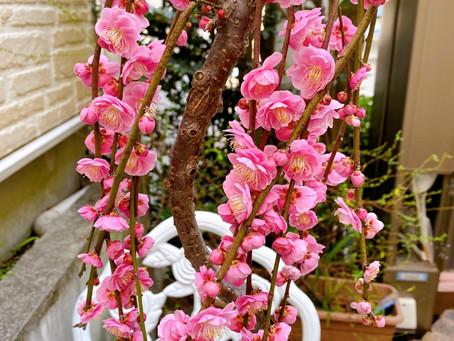 枝垂れ梅 美しく可憐な花