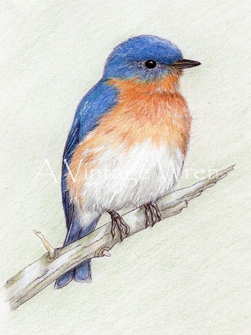 Eastern Bluebird Print with Double Mat / Bird Art