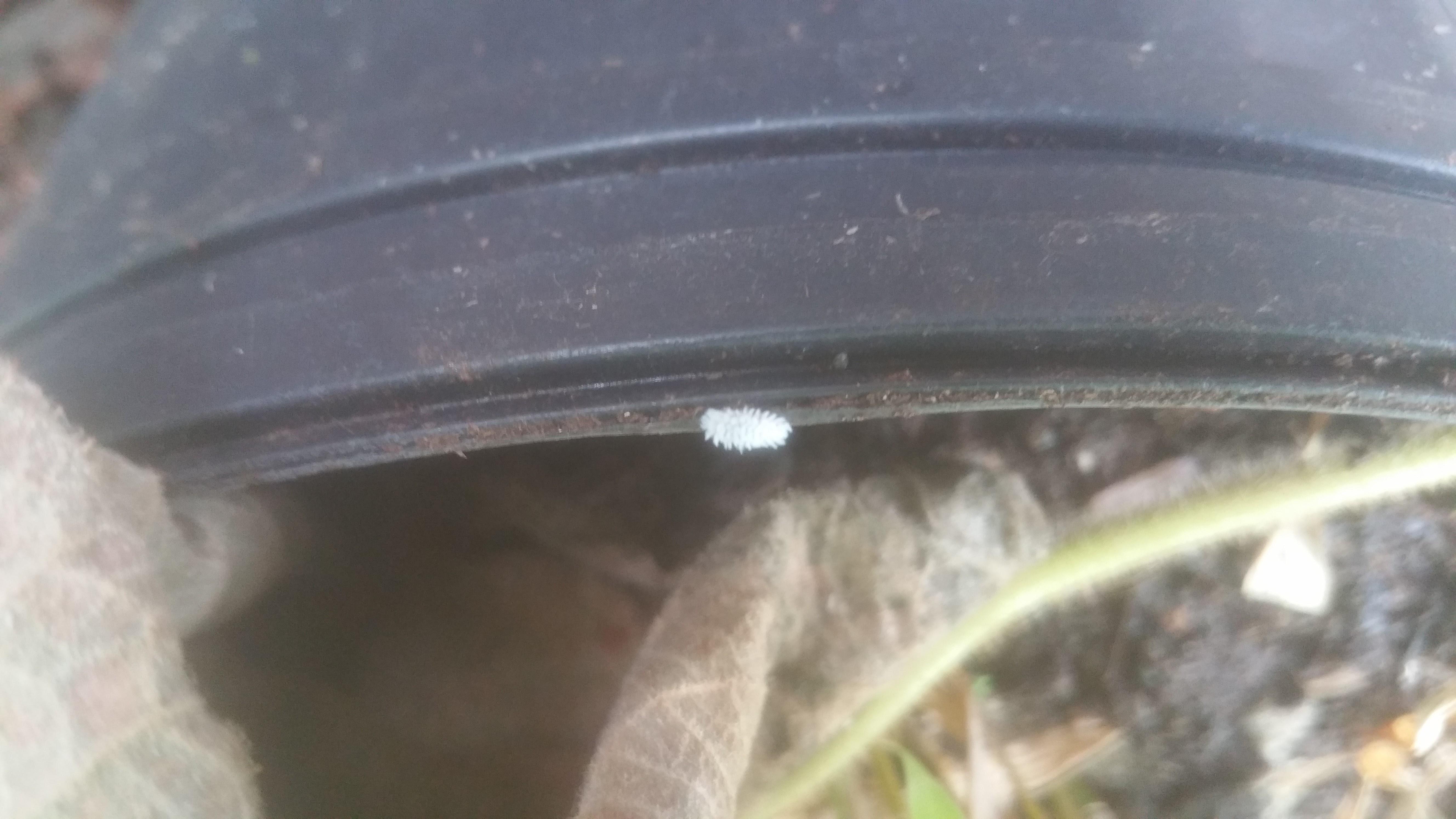 Mealybug Destroyer larvae