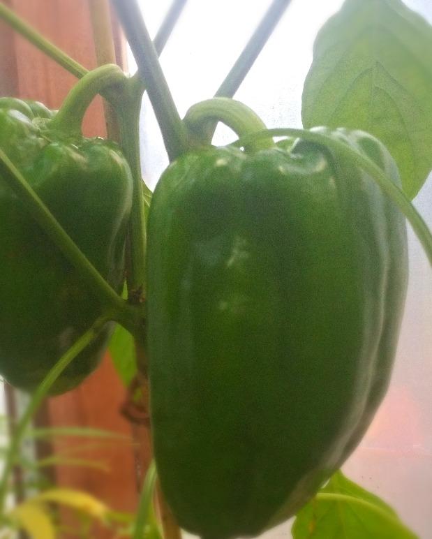 Crisp, sweet green peppers!