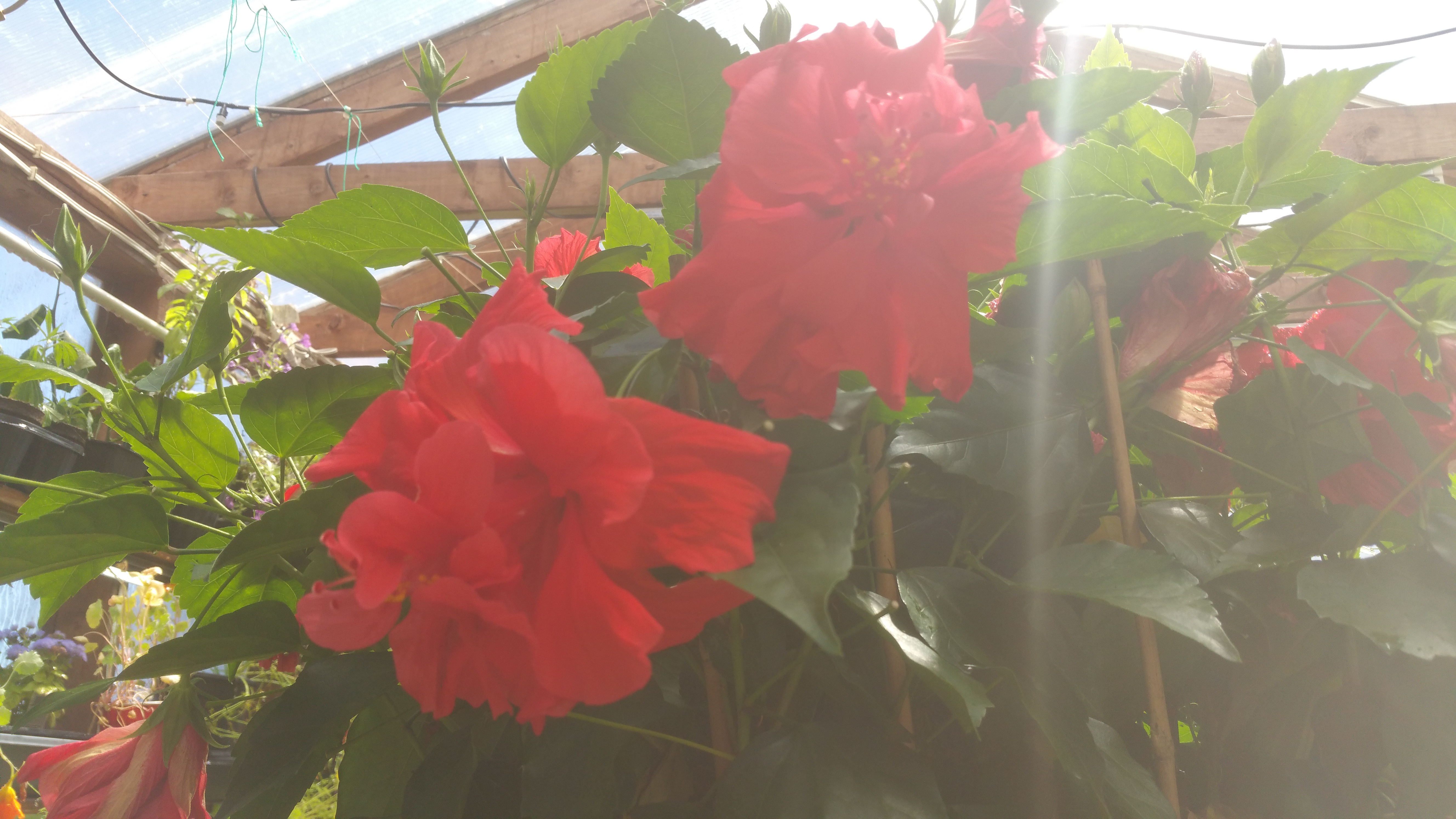 Double Red Tropical Hibiscus