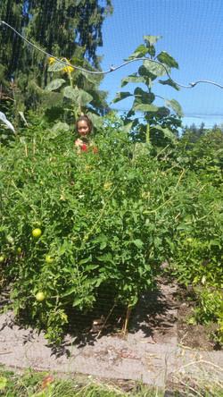 Tomato bush!