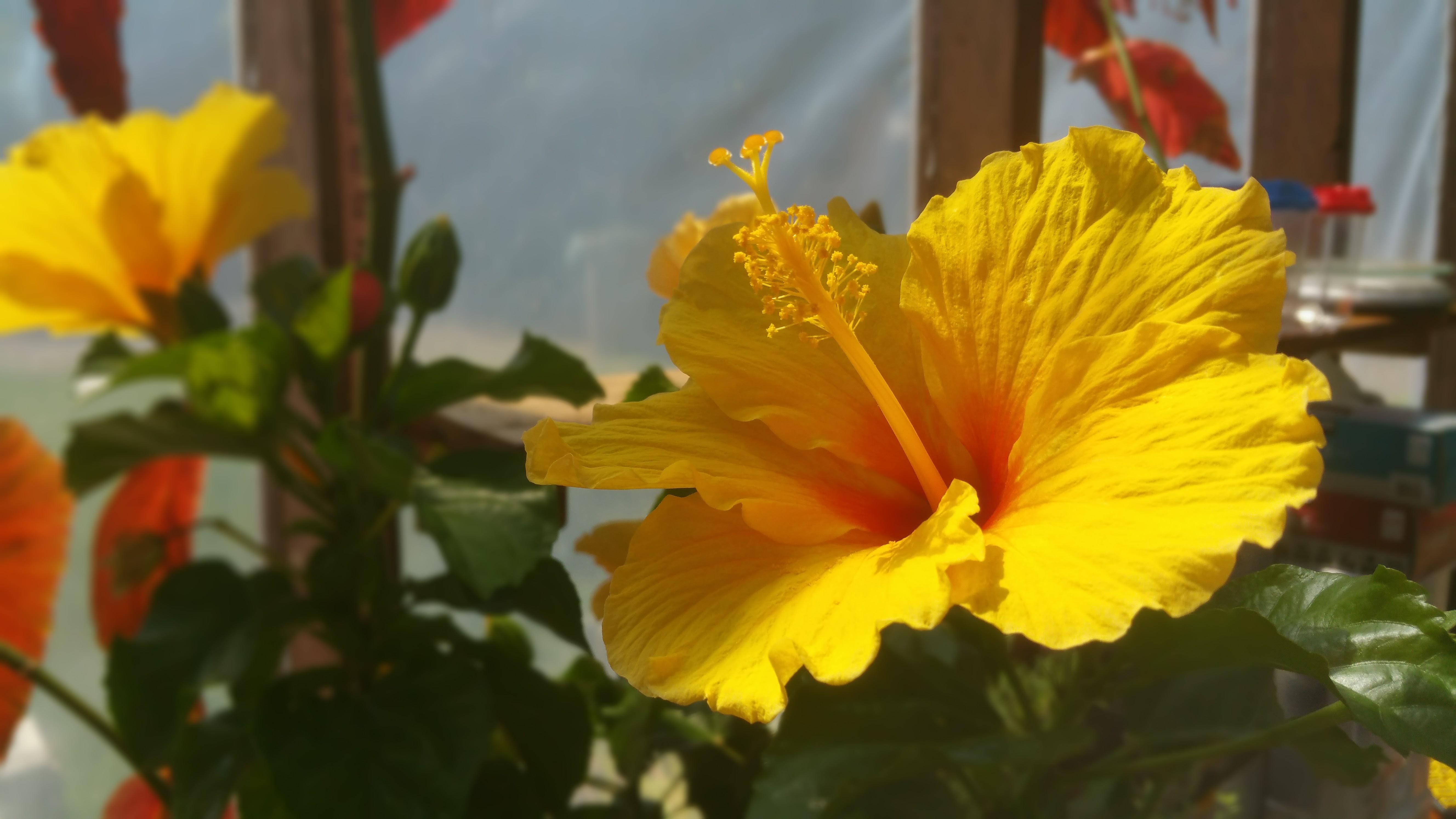 Fiji Gold hardy Hibiscus