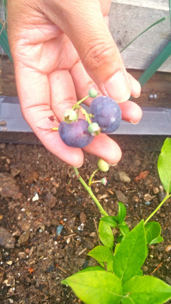 Plump blueberries!