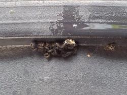 Ladybug larvae gallore!