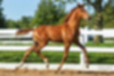 Masterful Dream  a Canadream Farm KWPN colt was awarded 1st premium with an impressive score of 79