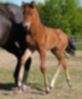 Kestrel Dream a KWPN colt for sale at Canadream Farm