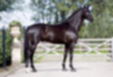 Wynton a Royal Dutch Sport stallion