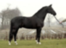 Special D a Royal Dutch Sport premium stallion