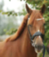 Exclusive STR, Ster prok, a Royal Dutch Sport mare from Canadream Farm