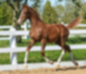 Merely a Dream 1st premium 2017 KPWN filly sold at Canadream Farm