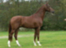 Vivaldi a Royal Dutch Sport Stallion