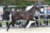 Energy, Prov keur, prok,  KWPN mare at Canadream Farm