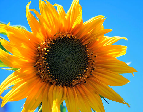 yellow-sunflower-flower-round-yellow-53407.jpeg