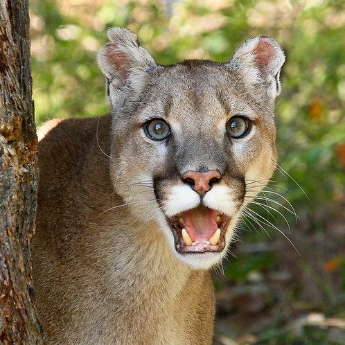Smiling Cougar
