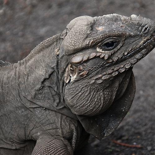 Grey Iguana
