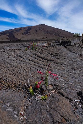 piton fournaise fleurs volcan la réunion klape