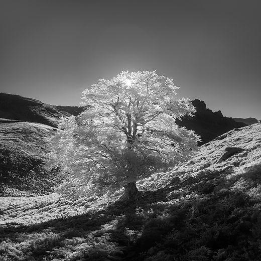 tree infrared arbre corse minuticcia rotondo monte klape soccia