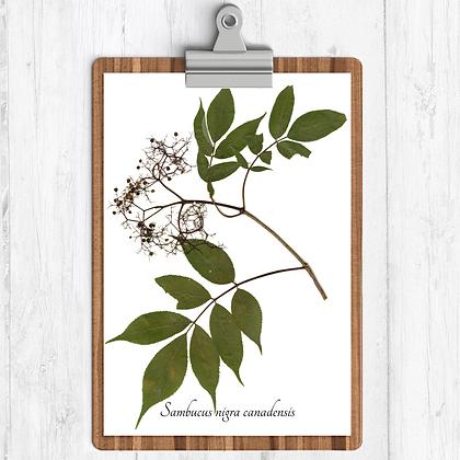 Elderberry Botanical Print