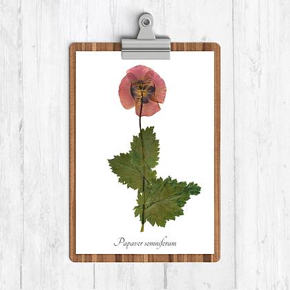 Opium Poppy Botanical Print
