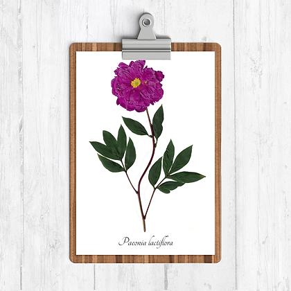 Garden Peony Botanical Print