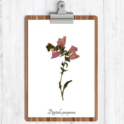 Foxglove Botanical Print