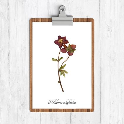 Hellebore Botanical Print