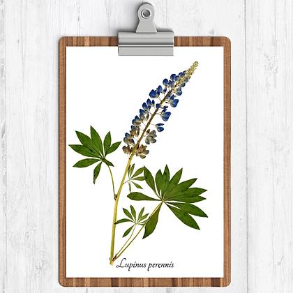 Wild Lupine Botanical Print