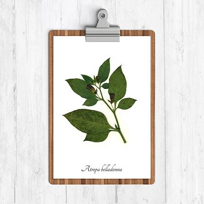 Belladonna Botanical Print